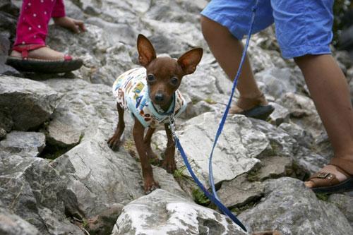 Chú chó dog cũng được chủ mặc cho chiếc áo